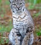 KITTOK the bobcat:The eyes and ears